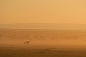 Silhouette of ostrich at dawn, Ol Pejeta Conservancy, Kenya