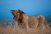 Male lion yawning at dusk, Ol Pejeta Conservancy, Kenya