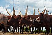 Ankole cattle, Ol Pejeta Conservancy, Kenya