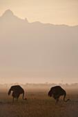 Ostriches at dawn in front of Mt Kenya, Ol Pejeta Conservancy, Kenya