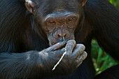 Chimpanzee picking nose with blade of grass, Sweetwaters Chimpanzee Sanctuary, Ol Pejeta Conservancy, Kenya