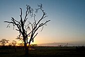 Silhouette of dead acacia tree (killed by elephants) at dawn with Mt Kenya in the background, Ol Pejeta Conservancy, Kenya
