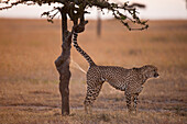 Male cheetah spraying tree to mark his territory, Ol Pejeta Conservancy, Kenya