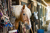 'Horse looking out of stall in stable in Cecil County; Maryland, United States of America'