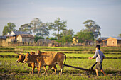 'Bunong boys ploughing with Water Buffalo; Mondulkiri, Bangladesh'