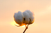 Agriculture - Sideview of a mature, harvest ready 5-lock cotton boll in Autumn with the sun setting behind it / Mississippi, USA.