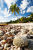 'Close up of a brain coral on a coral beach with coconut tree in background with blue sky and clouds; Akumal, Quintana Roo, Mexico'