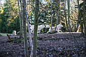 'Gray wolves (canis lupus), white phase, Woodland Park Zoo; Washington, United States of America'