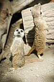 'Meerkats standing upright at the Calgary Zoo; Calgary, Alberta, Canada'