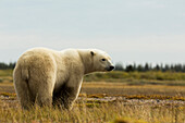 'Alert polar bear standing in a field; Manitoba, Canada'