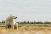 'Polar bear sitting by the coast of Hudson Bay; Manitoba, Canada'