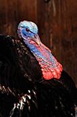 Turkey, Riverdale Farm, Toronto, Ontario