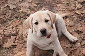 'Labrador Retriever Puppy Sitting In Leaves; Ontario, Canada'