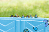 Six Small Frogs Sitting On The Edge Of Children's Wading Pool, Ontario