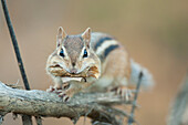 Chipmunk Sitting On A Fallen Branch With Leaves In Its Mouth, Ontario
