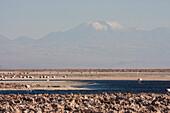 Andean Flamingo (Phoenicoparrus Andinus), Laguna Chaxa, Antofagasta Region, Chile