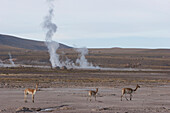 Vicunas (Vicugna Vicugna) By The El Tatio Geysers, Antofagasta Region, Chile