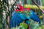 Scarlet Macaw (Ara Macao), Biocentro Guembe, Santa Cruz, Bolivia