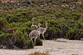 Lesser Rheas (Rhea Pennata), Pumiri, Oruro, Bolivia