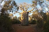 The 13 Metre-Wide Baobab (Adansonia Fony), Nicknamed The Coffee Pot At Reniala Reserve, Mangily, Toliara Province, Madagascar