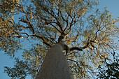 Baobab (Adansonia Fony) At Reniala Reserve, Mangily, Toliara Province, Madagascar