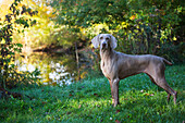 'Weimaraner by edge of pond, early autumn morning; Colchester, Connecticut, United States of America'