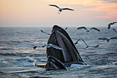 'Humpback whale (Megaptera novaeangliae) and a flock of birds on the surface of the water at sunset; Massachusetts, United States of America'