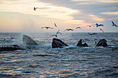 'Humpback whales (Megaptera novaeangliae) and a flock of birds on the surface of the water at sunset; Massachusetts, United States of America'