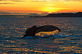 Scenic view of a Humpback whales tail as it dives down at sunrise in Prince William Sound.