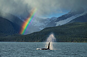 COMPOSITE: Male Orca whale surfaces in Lynn Canal with a rainbow and spring rain shower in the background, Southeast Alaska