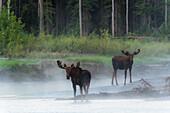 Two bull moose standing along the Yukon River on a foggy morning, Yukon Territory, Canada