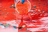 Worker at a fish hatchery near Paxon pours Sockeye Salmon roe into an incubator, Southcentral Alaska