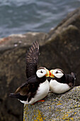 Pair of Horned Puffins Fratercula corniculata perched on a lichen covered boulder, Walrus Islands State Game Sanctuary, Round Island, Bristol Bay, Alaska