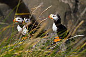 Three Horned puffins Fratercula corniculata perched on a boulder with grasses in the foreground, Walrus Islands State Game Sanctuary, Round Island, Bristol Bay, Southwestern Alaska