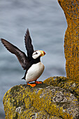 Horned puffin Fratercula corniculata standing on lichen-covered boulder flapping wings, Walrus Islands State Game Sanctuary, Round Island, Bristol Bay, Southwestern Alaska