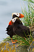Pair of Tufted Puffins Fratercula cirrhata perched on a lichen covered boulder, Walrus Islands State Game Sanctuary, Round Island, Bristol Bay, Alaska