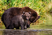 Coastal brown bear and cub fishing in a river, Katmai National Park and Preserve, Southwest Alaska