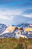 Adult ram Dall Sheep resting on a hilltop at Polychrome Pass in Denali National Park