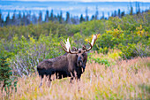 Large bull moose standing in brush near Powerline Pass in the Chugach State Park, near Anchorage, Southcentral Alaska