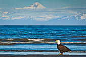 Bald Eagle on the Ninilchik beach with Cook Inlet and Mt. Redoubt in the background, Kenai Peninsula, Southcentral Alaska, Summer.