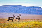 Two Female Caribou crossing on the fall colored tundra, north of the Gates of Arctic National Park & Preserve along the Dalton Hwy, Arctic Alaska, Autumn.