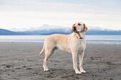 Labrador retriever on the Homer Spit beach, Kenai Peninsula, Southcentral Alaska.