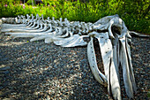 Gray Whale bone exhibit at the Alaska Native Heritage Center, Anchorage, Southcentral Alaska, Summer.