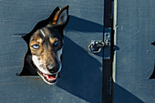 A Justin Savidas dog peeks out from the dog box window during the Iditarod 2014 restart in Willow, Alaska.