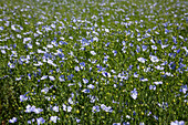 field of blue-flowered flax, rugles, eure (27), normandy, france
