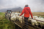 icelandic farmer during the sorting of sheep for genetic selection, southeast iceland, europe