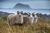 three sheep with four horns, hafnarnes, hofn, eastern fjords, iceland, europe
