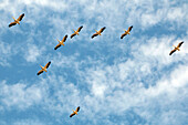 white pelicans in flight formation, djoudj national bird park, third biggest ornithology reserve in the world, listed as a world heritage site by unesco, senegal, west africa