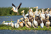 gathering of white pelicans, djoudj national bird park, third biggest ornithology reserve in the world, listed as a world heritage site by unesco, senegal, west africa