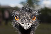 Head of Emu, Dromaius novaehollandiae, Brisbane, Australia